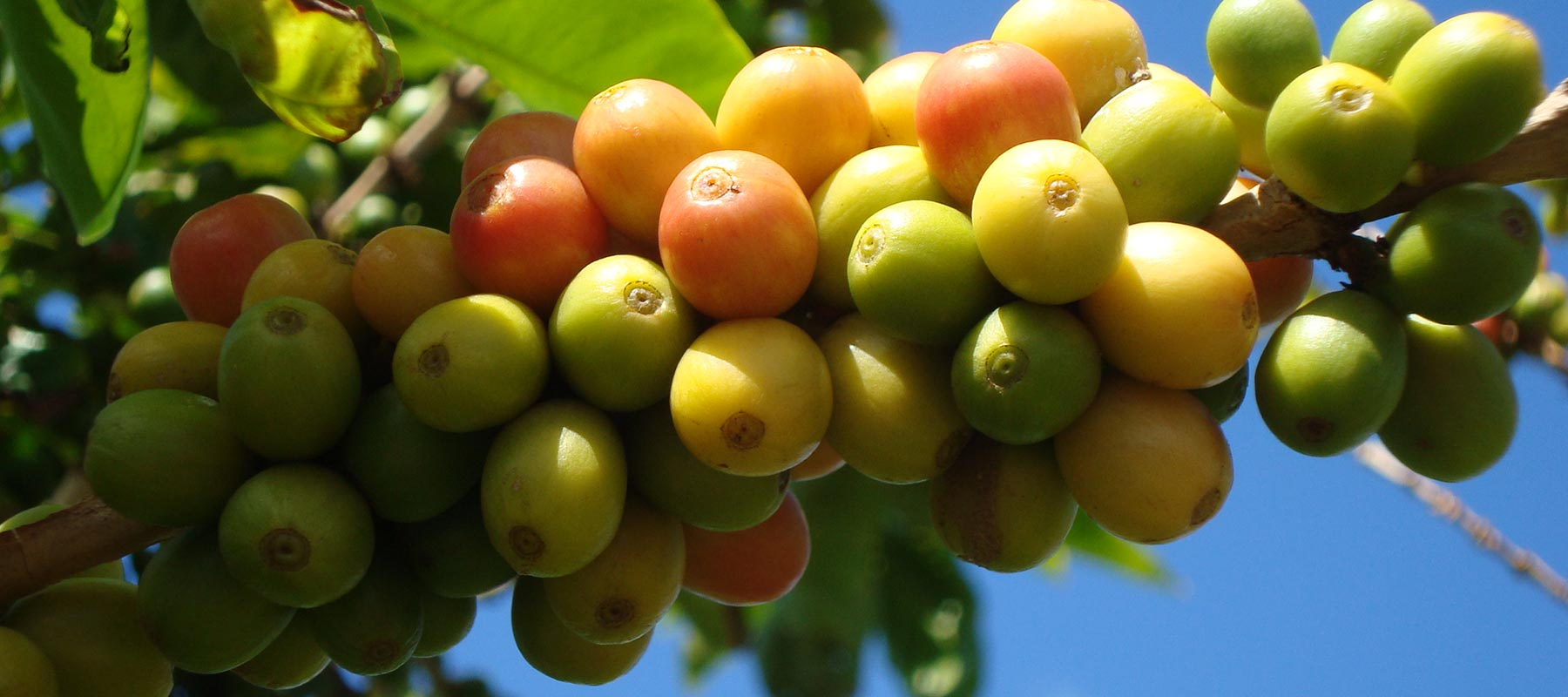 What's in Your Cup? 6 Kauai Coffee Varieties You Should Know