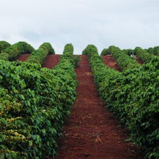 From Seed to Cup: How We Harvest Kauai Coffee