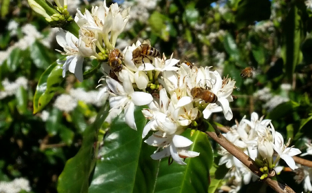 All About Coffee Flowers